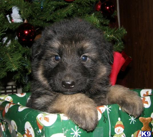 straight back german shepherd puppies for sale long coat straight back german shepherds in tenne 30136 6491