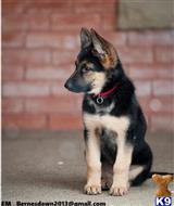 german shepherd puppy posted by cameronmorrisi02