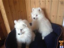 samoyed puppy posted by carinechery