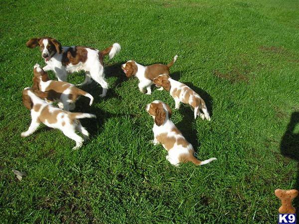 5 Welsh Springer Spaniels for sale 14865