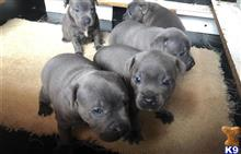 staffordshire bull terrier puppy posted by carliebrownncx