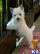 west highland white terrier puppy posted by carlsonmiller