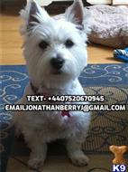 west highland white terrier puppy posted by castos