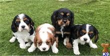 cavalier king charles spaniel puppy posted by catracymarrie0014