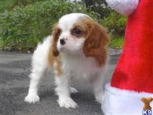cavalier king charles spaniel puppy posted by catracyoomarrie25