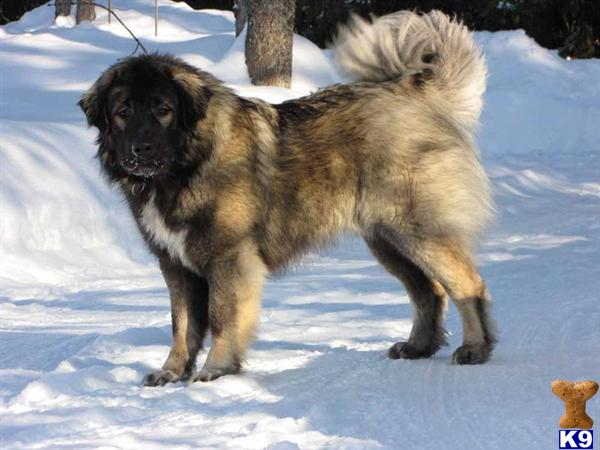 Related pictures dog caucasian mountain dog russian prison catalogopet