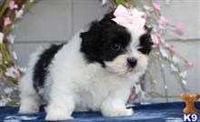 bichon frise puppy posted by ceanir