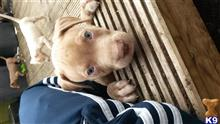 american staffordshire terrier puppy posted by ceelosredz