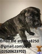 cane corso puppy posted by cegis98956