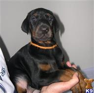 doberman pinscher puppy posted by cehorow2290