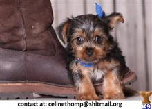 yorkshire terrier puppy posted by celinethomp