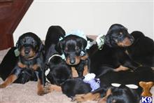 doberman pinscher puppy posted by cemek45006