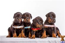 doberman pinscher puppy posted by cetoxi9283