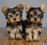 yorkshire terrier puppy posted by charleswinders7