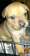 mixed breed puppy posted by Cheryl212918