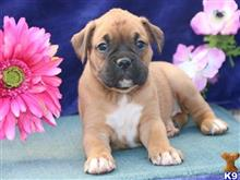 boxer puppy posted by chestblake3