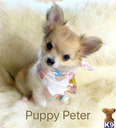 ChihuahuaBabies Picture 1