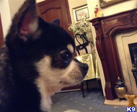 Chihuahuarus Picture 1