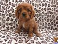 cavalier king charles spaniel puppy posted by chrisaliers