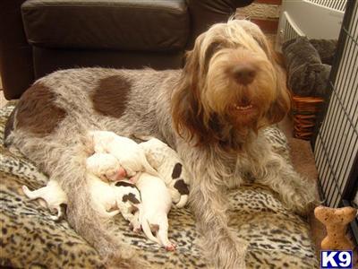 Spinone Italiano Puppy Breeders Spinone Italiano Puppies