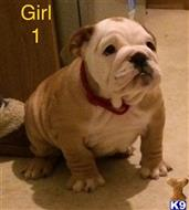 bulldog puppy posted by Chrissys dogs
