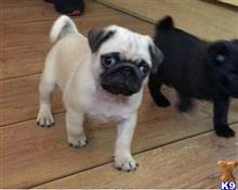 pug puppy posted by christianebasogo
