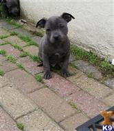 staffordshire bull terrier puppy posted by chucksmoore