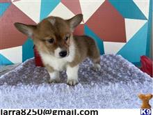 pembroke welsh corgi puppy posted by civego8704