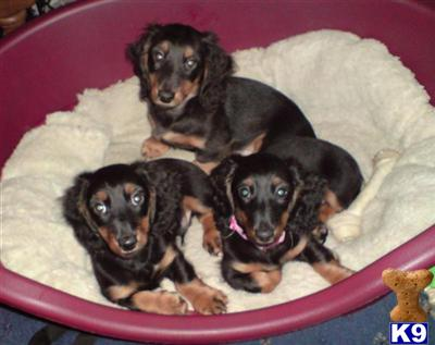 miniature long haired dachshund puppies for sale. Miniature Long-Haired