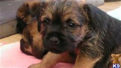 border terrier puppy posted by clicker