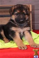 german shepherd puppy posted by cobitew8396