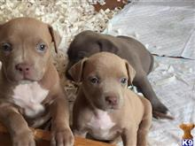 american staffordshire terrier puppy posted by colby shelby