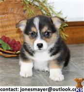 pembroke welsh corgi puppy posted by collinsreyes