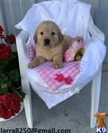 golden retriever puppy posted by corago5234