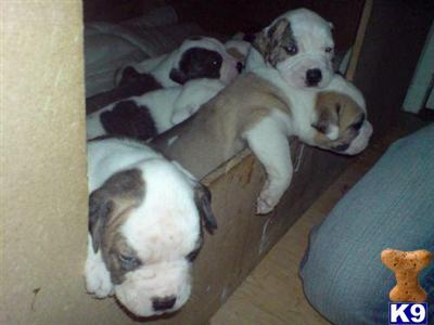 craigsbulldogs Picture 1