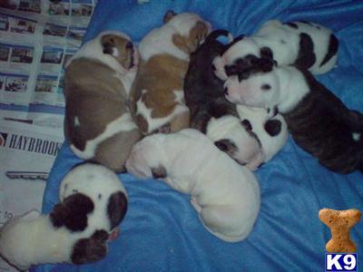 craigsbulldogs Picture 2