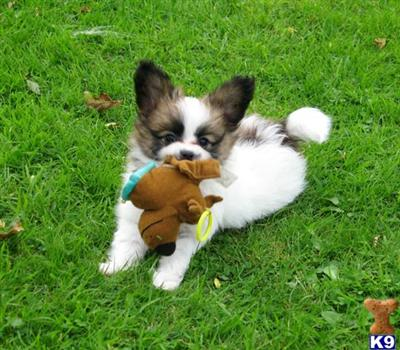 Papillon Puppies on Papillon Puppies As Companions Adorable Companion Papillon Puppies