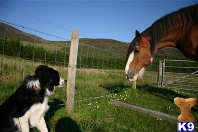 crofters_collies Picture 2