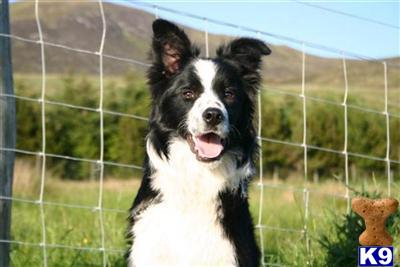crofters_collies Picture 1