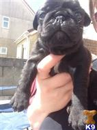 pug puppy posted by dalame