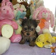 yorkshire terrier puppy posted by damarisejane