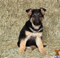 german shepherd puppy posted by davidsoncathleen