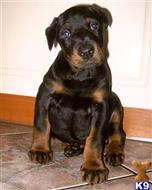 doberman pinscher puppy posted by dayofom606