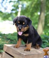 rottweiler puppy posted by delilahnataly972986