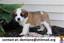 saint bernard puppy posted by demiane