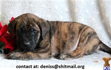 mastiff puppy posted by deniss