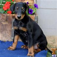 doberman pinscher puppy posted by deratiller23