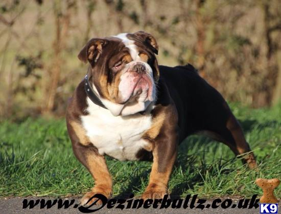 Dezinerbullz Essex Picture 1