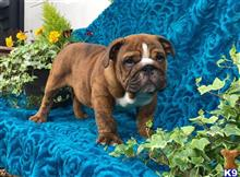bulldog puppy posted by Dezinerbullz Essex