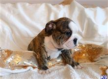 bulldog puppy posted by dezinerbullzuk